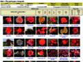 Náhled webu Přehled růží